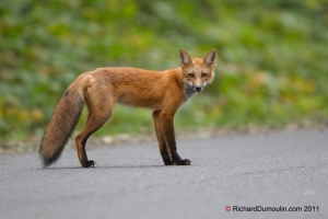 Renard roux / Red fox / Vulpes vulpes